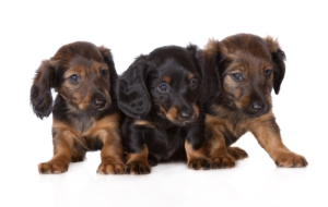 Dachshund Free HD Wallpapers