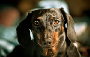 Dachshund HD Background