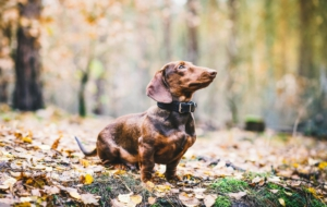 Dachshund For Desktop Background
