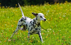 Dalmatian High Definition Wallpapers