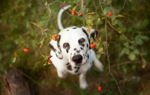 Dalmatian For Desktop