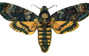Deaths Head Moth Photos