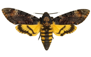 Deaths Head Moth Pictures