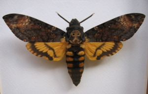 Deaths Head Moth Wallpapers