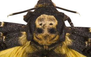 Deaths Head Moth Widescreen