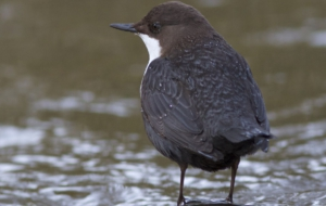 Dipper Images