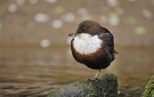 Dipper Pictures