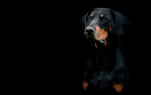 Doberman Pinscher Background