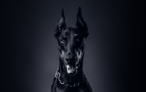 Doberman Pinscher Computer Wallpaper