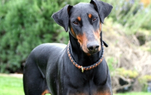 Doberman Pinscher HD