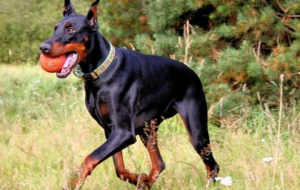 Doberman Pinscher High Definition