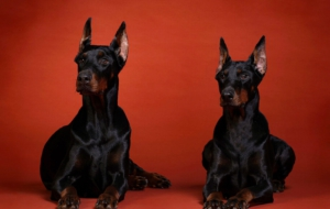 Doberman Pinscher High Quality Wallpapers