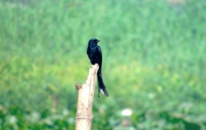 Drongo High Definition Wallpapers