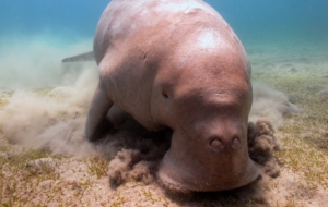 Dugong Computer Backgrounds