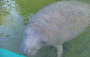 Dugong Desktop Wallpaper
