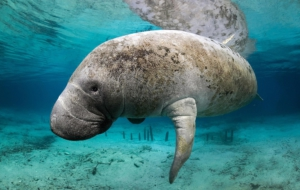 Dugong Wallpapers