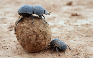Dung Beetle 4K