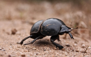 Dung Beetle Desktop Wallpaper