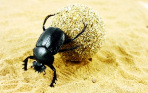 Dung Beetle HD