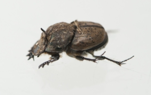 Dung Beetle HD Wallpaper