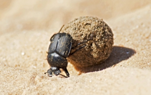 Dung Beetle Wallpaper