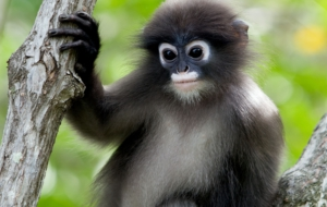 Dusky Leaf Monkey Computer Wallpaper