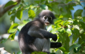 Dusky Leaf Monkey HD Desktop