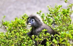 Dusky Leaf Monkey HD Wallpaper