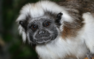Dusky Leaf Monkey Images