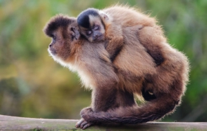 Dusky Leaf Monkey Pictures
