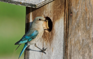 Eastern Bluebird Background