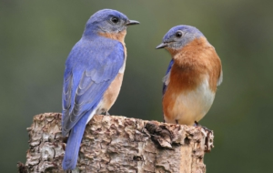 Eastern Bluebird Computer Backgrounds