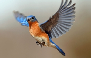Eastern Bluebird Computer Wallpaper