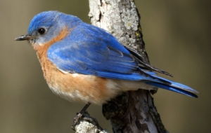 Eastern Bluebird Desktop