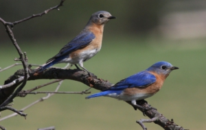Eastern Bluebird Desktop Images