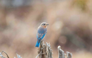 Eastern Bluebird Download