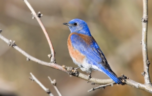 Eastern Bluebird Download Free Backgrounds HD