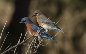 Eastern Bluebird HD