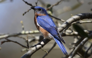 Eastern Bluebird HD Wallpaper