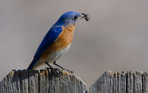 Eastern Bluebird Wallpaper