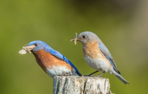 Eastern Bluebird Wallpapers
