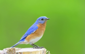 Eastern Bluebird Widescreen