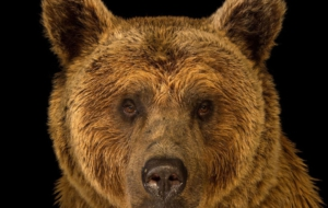Eastern Brown Bear For Desktop