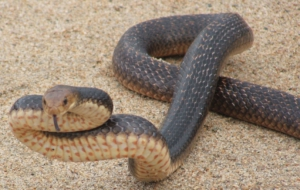 Eastern Brown Snake Background