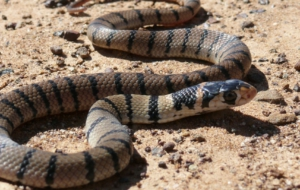 Eastern Brown Snake Images