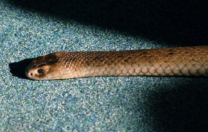 Eastern Brown Snake Wallpapers HQ
