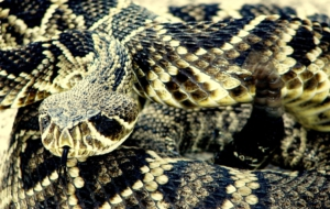 Eastern Diamondback Rattlesnake Background
