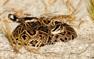 Eastern Diamondback Rattlesnake Computer Backgrounds