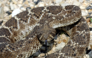 Eastern Diamondback Rattlesnake Desktop Images
