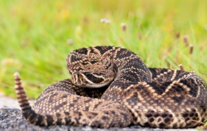 Eastern Diamondback Rattlesnake Free HD Wallpapers